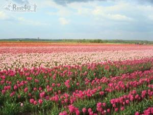 Долина тюльпанів в Мамаївцях